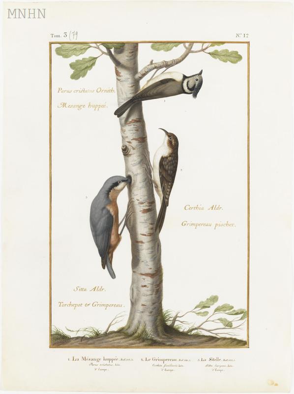 Mésange huppée, grimpereau et sitelle, Nicolas Robert, 17e s.